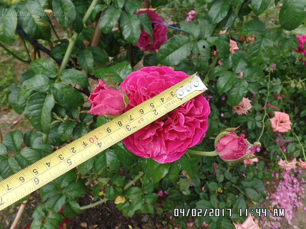hoa hong cat canh kate rose (18)+vuonhongvanloan.com.JPG
