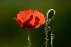 Family of Red Poppy