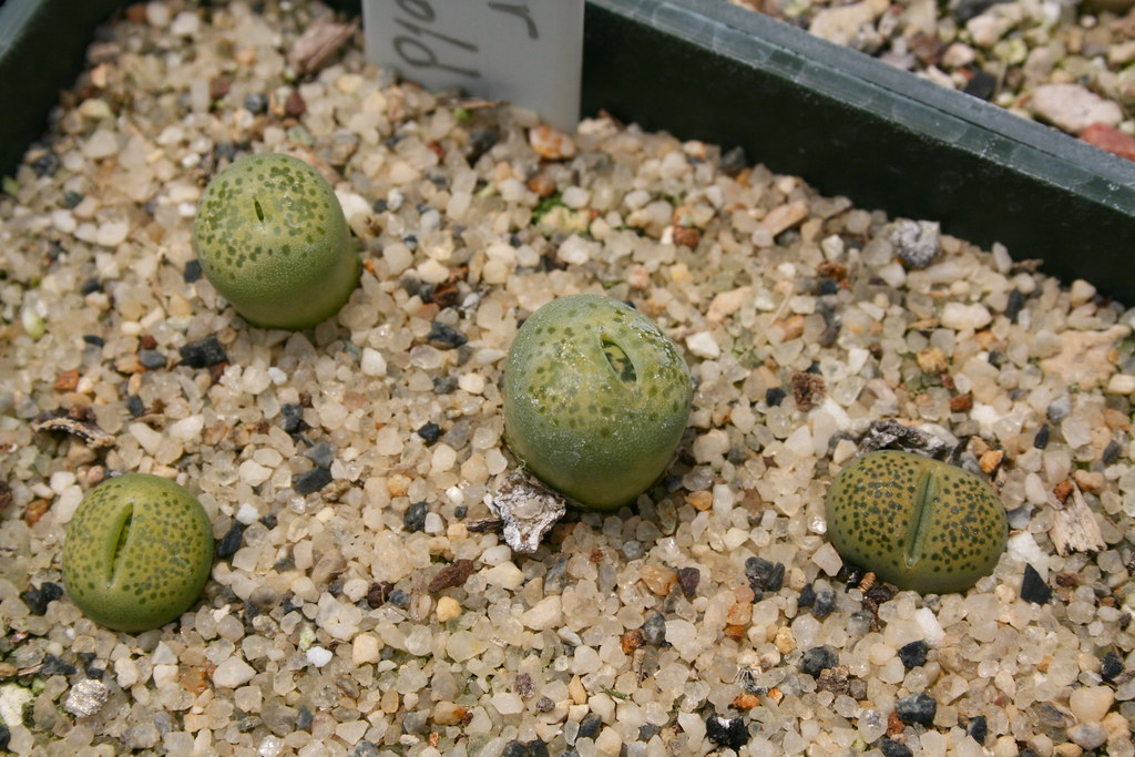 Lithops terricolor 'Speckled Gold'