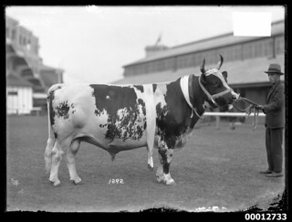 Champion Ayrshire Bull 'Problem of the Valley', Royal Sydney Easter Show