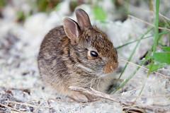 animal, grass, rabbit, domestic rabbit, pet, fauna, wood rabbit, close-up, degu, whiskers, rabits and hares, wildlife,