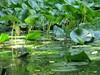 grandi foglie di ninfea