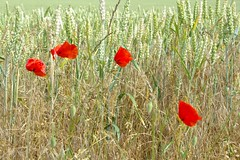 Poppies, South Acre