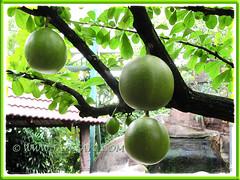 Large roundish fruits of Crescentia cujete (Calabash Tree) at Restaurant Siu Siu, KL - 24 Oct, 2011