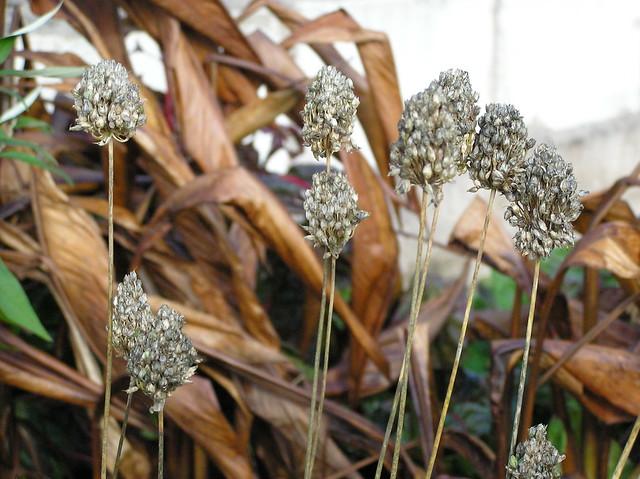 Allium sphaereocephalon