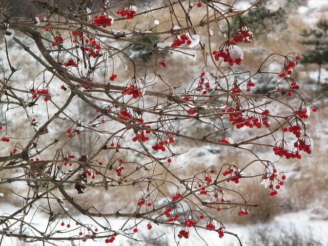 カンボクの赤い実も氷に包まれていた.