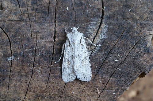 Grey Shoulder-knot (Lithophane ornitopus)