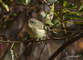 """Ruby - crowned Kinglet"" ""Regulus  calendula"""