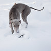 Weimaraner in snow by dogbreathphoto