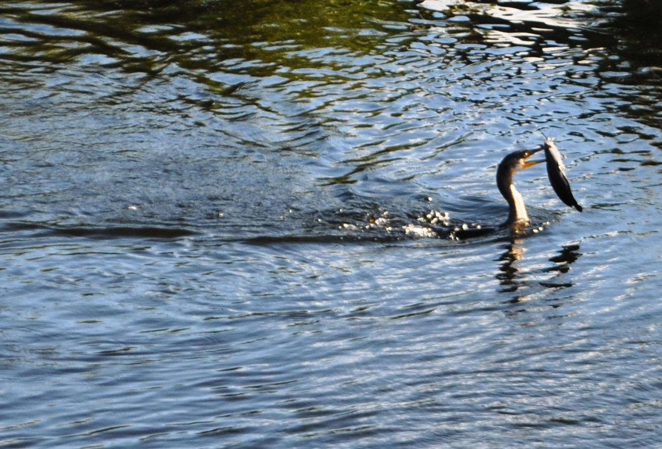 Cormorant Catches Dinner at the Oasis Visitor Center at the Big Cypress Preserve, Florida, Dec. 7, 2013
