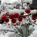 Berries and Snow #12days