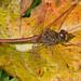 Sympetrum striolatum ©Sinkha63