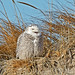 Snowy Owls in New England by renzodionigi