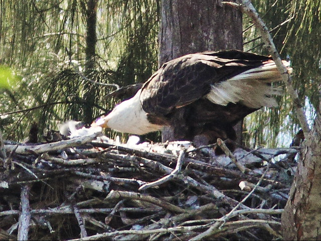 Bald Eaglet being fed 20140123