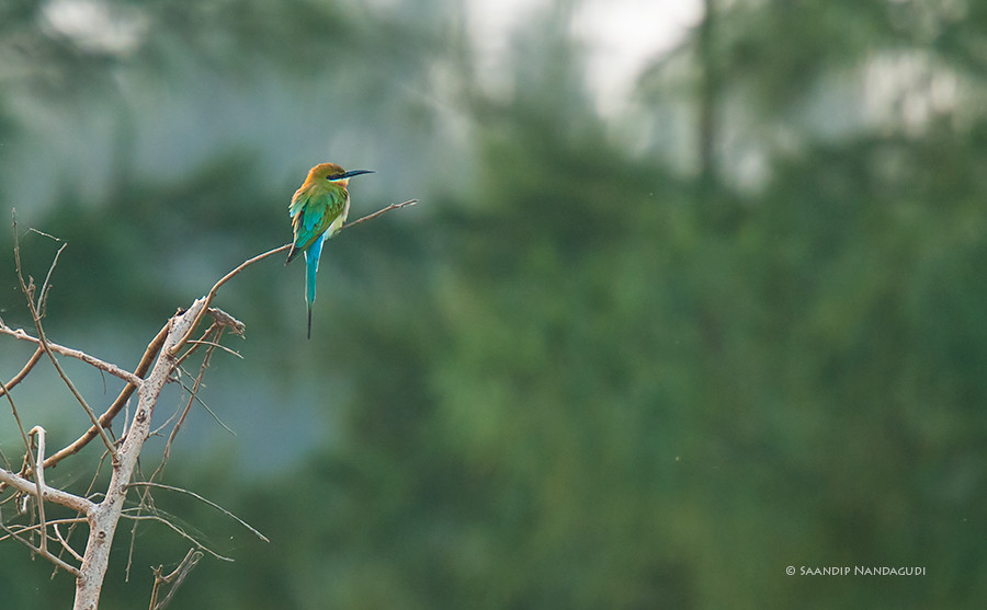 Bluetailed-Bee-eater