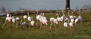 Lake Nakuru - Flamingos