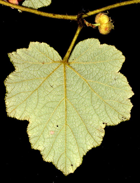 Rubus alceifolius DSC_0624 (6)