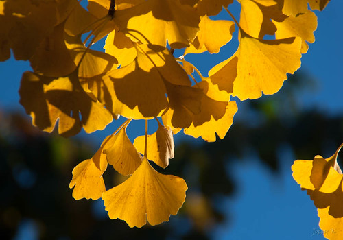 The Ginkgo in Autumn