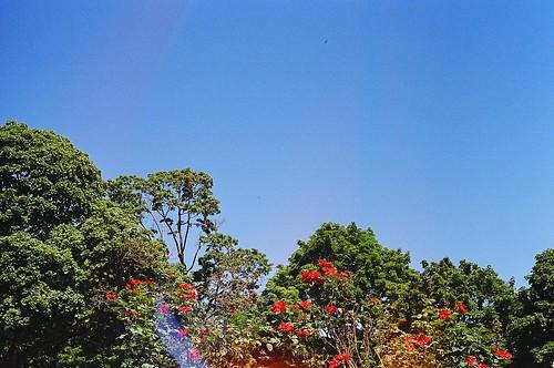 roses, trees, skies