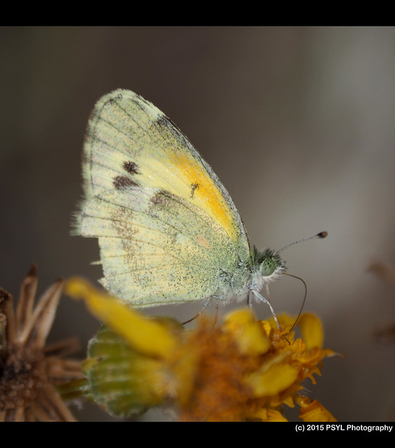 Unknown sulphur butterfly
