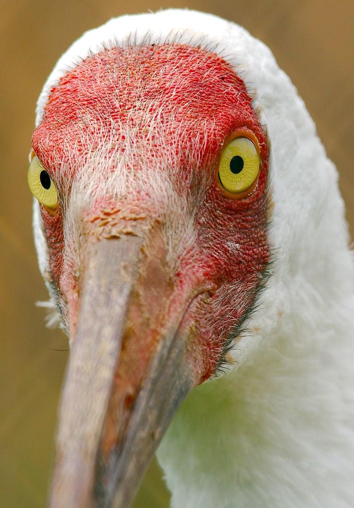 Siberian Crane (Leucogeranus leucogeranus)_4_v2