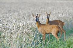 Roe Buck & Doe (Capreolus capreolus)