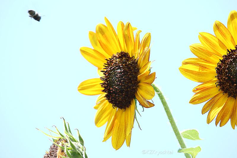 IMG_0449Sunflowers