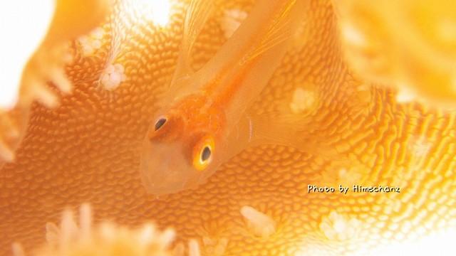フタイロサンゴハゼ幼魚ちゃんもw