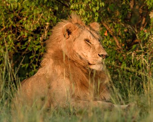 lion africanlions