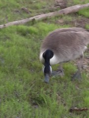 mean goose