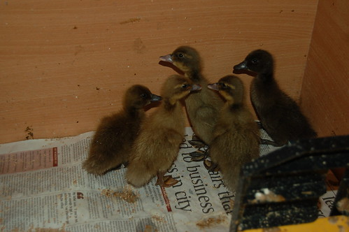 ducklings June 13 1