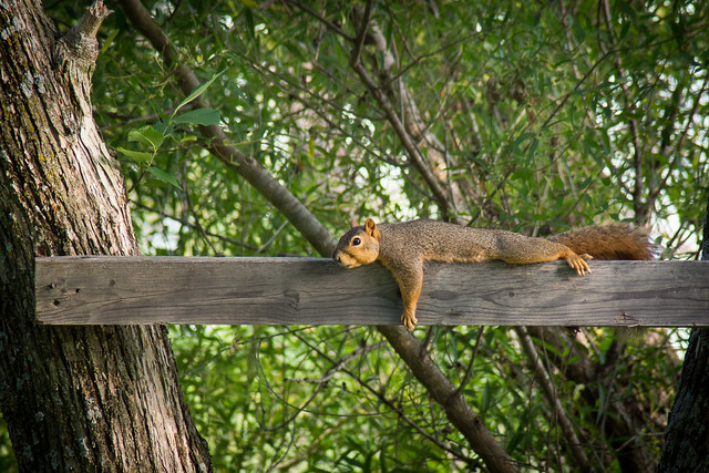 Squirrel, Wildlife, Reclining, Nature, Red Squirrel, Planking