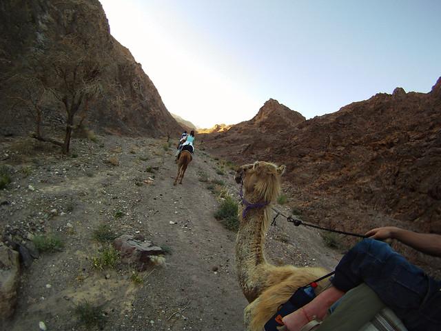 En el Neguev de israel subido en un camello