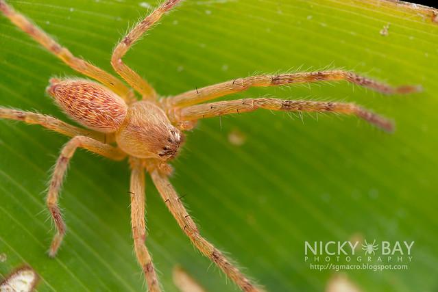 Huntsman Spider (Sparassidae) - DSC_1868