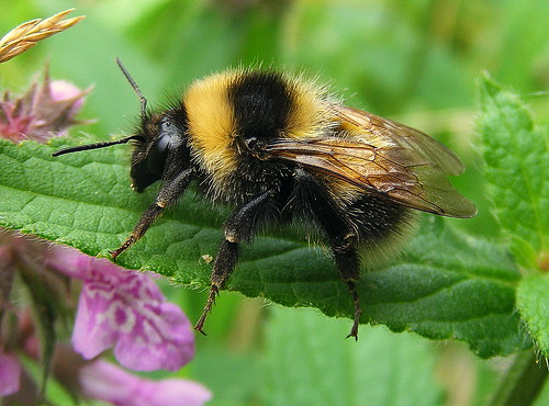 Fuji FinePix S5800-S800.Super Macro.Resting On A Marsh Woundwort Leaf.Bumble Bee.August 29th 2013.