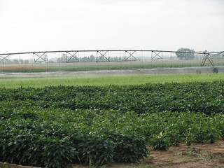 Picture of an Edamame field under irrigation