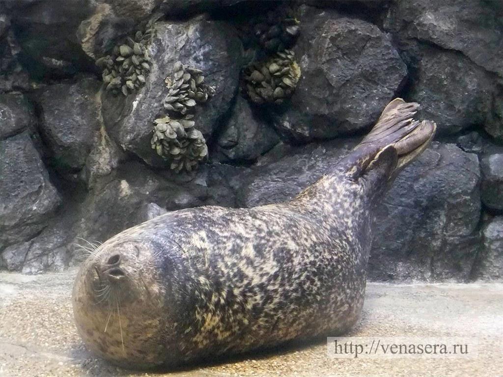 Морской лев в аквариуме «Залив Монтерей»