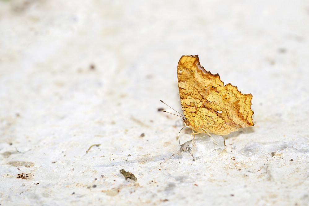 鉤蛺蝶屬黃鉤蛺蝶-2