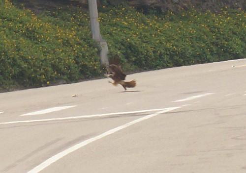 黑鳶食用路殺鳥類。(攝影:王麗菊)