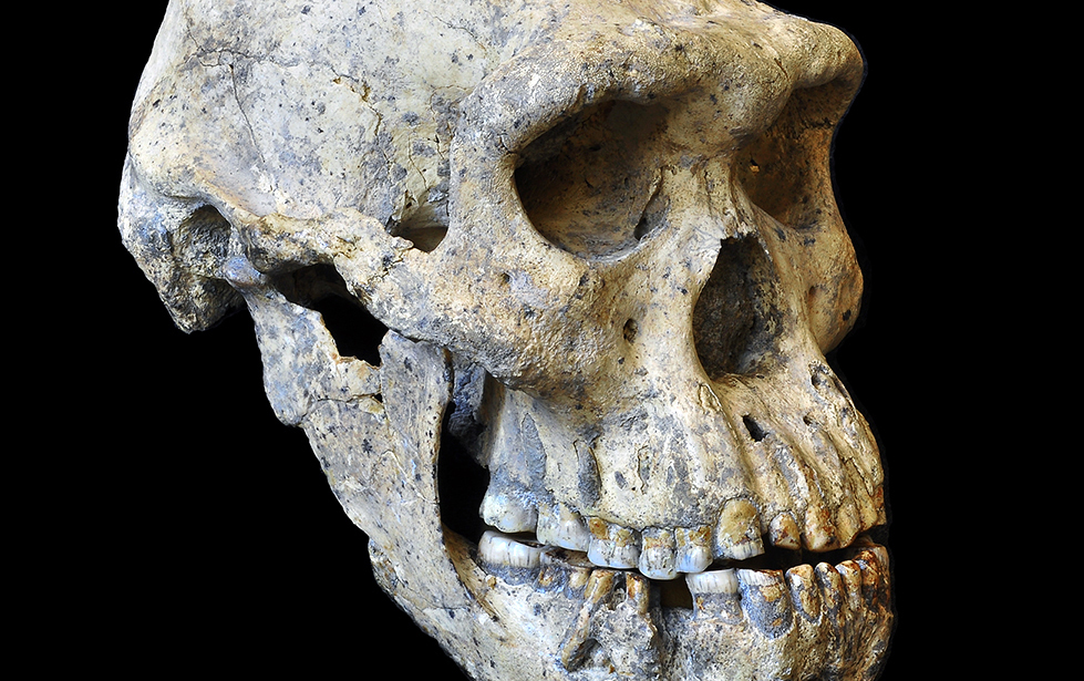 Unique skull find rebuts theories on species diversity in early humans