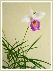 Arundina graminifolia (Bamboo Orchid) at our front yard, Sept 25 2013