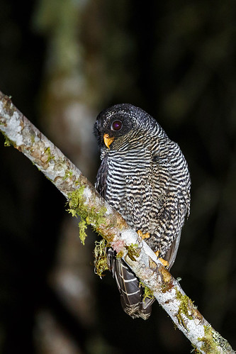 San-Isidro Owl