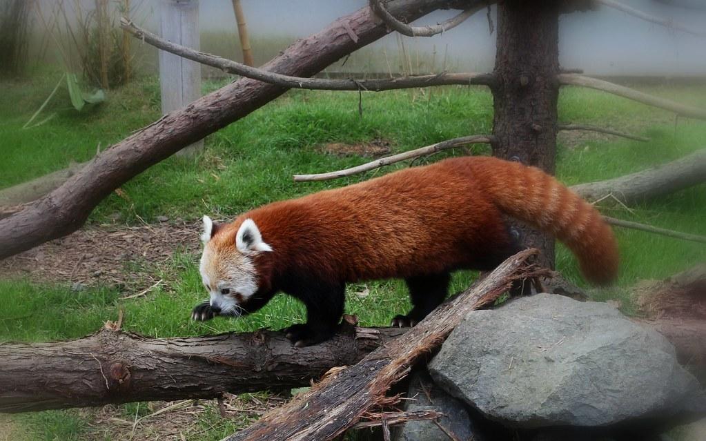 Stella Luna -- Red Panda
