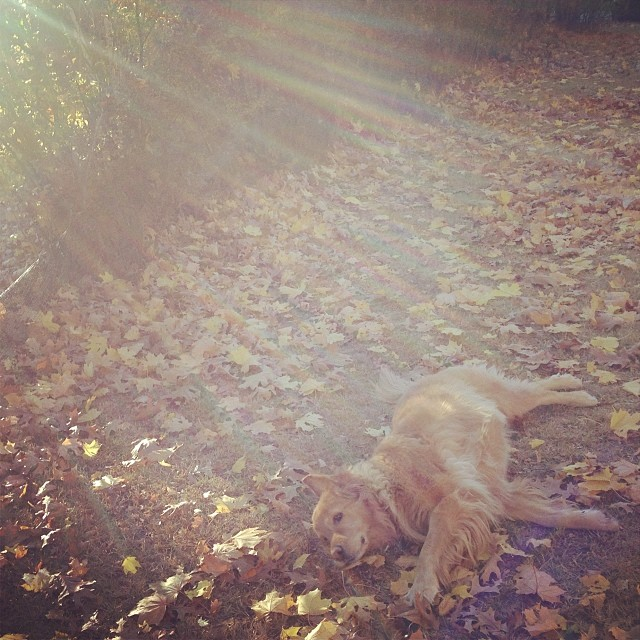 She loves to greet the day by rolling on the ground no matter what the weather . Lucky for me today is a dry leaves morning