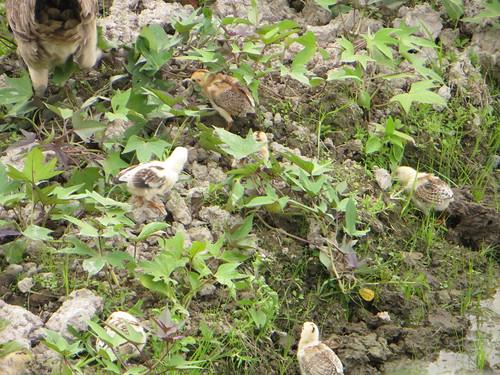 bali chicks