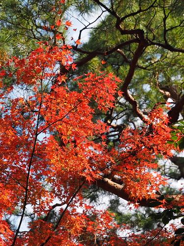 高桐院 紅葉