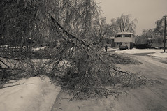 The Fallen Birch