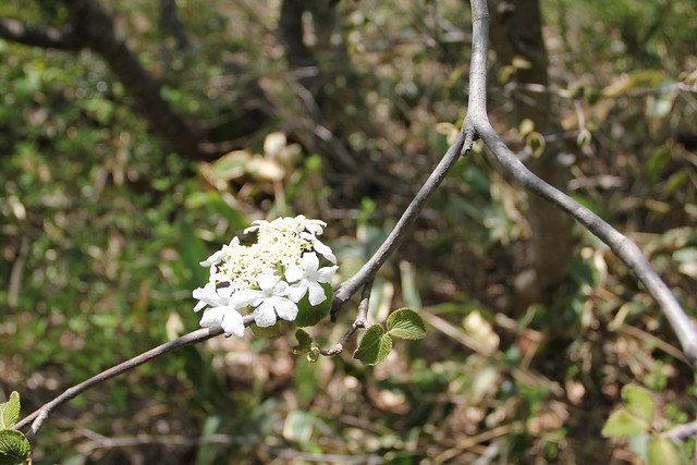 白い花が目立っていたムシカリ(オオカメノキ).
