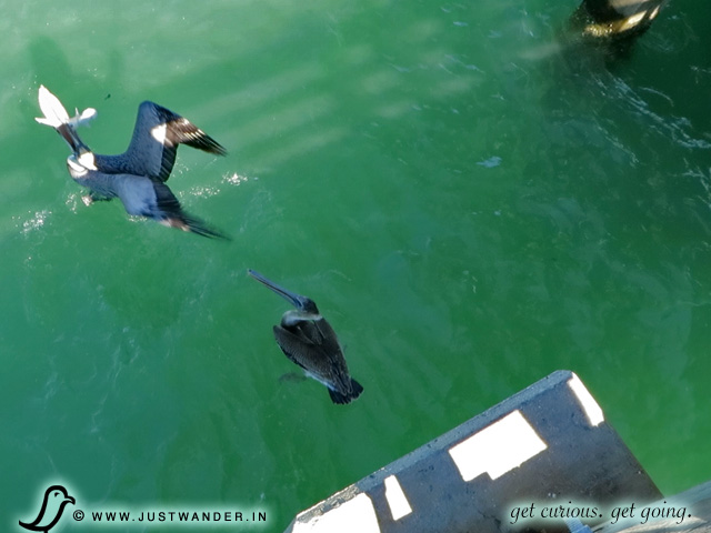 PIC: Fishing at Naples Pier - Pelican and a Baby Hammerhead Shark in its pouch.