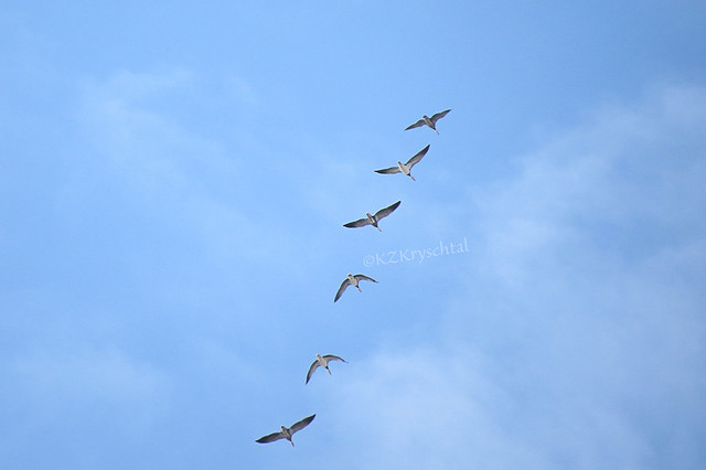 IMG_4318SnowGeese